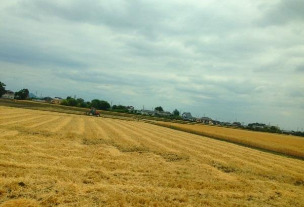 麦畑2013その2a.jpg