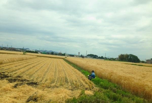 麦畑2013a.jpg